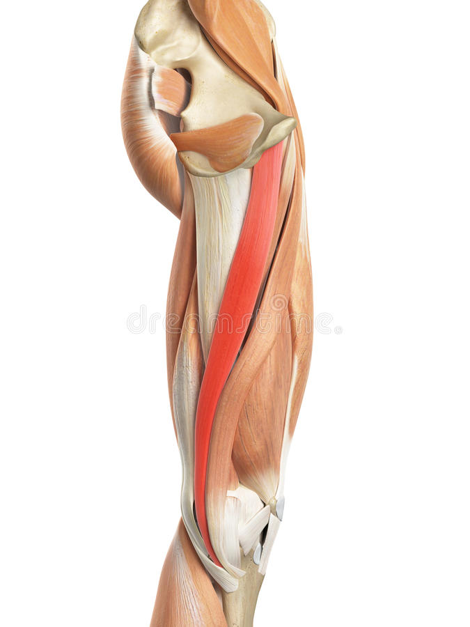 The gracilis stock illustration. Illustration of anatomy - 58450598