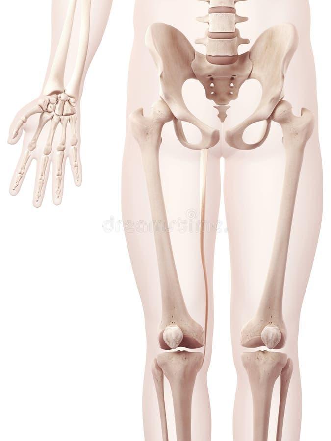 The Gracilis Muscle Stock Illustration Illustration Of Anatomical