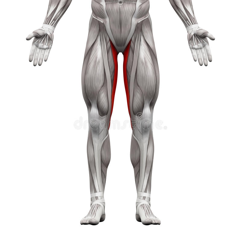Gracilis Muscle - Anatomy Muscles Isolated On White - 3D Illustr ...