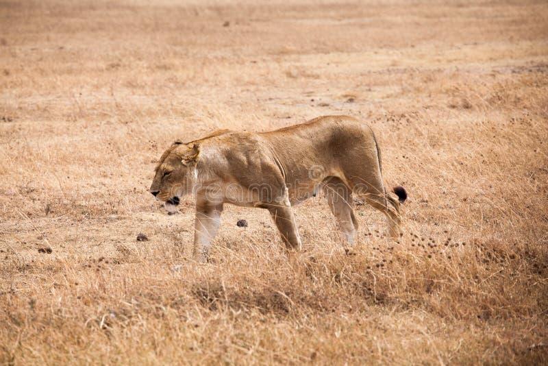 Gracious lioness Panthera Leo walking. Towards safari car at Ngorongoro National Park, Tanzania stock image