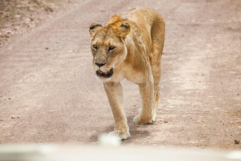Gracious lioness Panthera Leo walking. Towards safari car at Ngorongoro National Park, Tanzania royalty free stock images