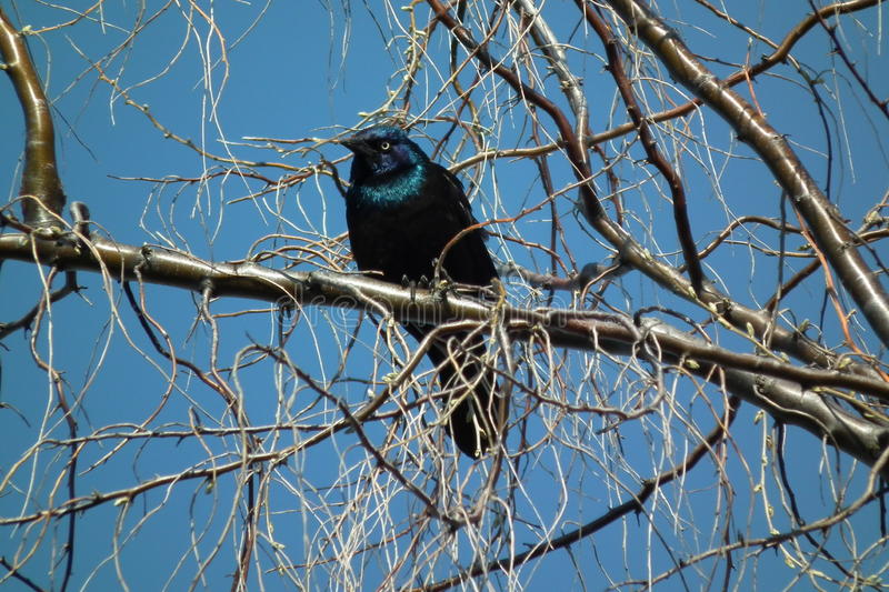 Grackle immagine stock