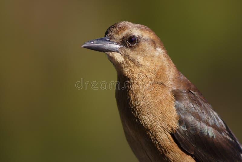 Download Grackle Barco-atado foto de stock. Imagem de tailed, pássaro - 544756