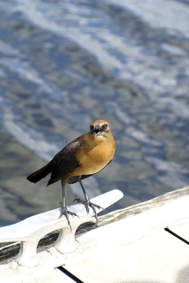 grackle Barco-atado en los marismas parque nacional, la Florida, los E.E.U.U. imágenes de archivo libres de regalías