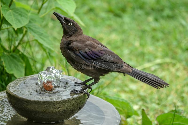Grackle commun juvénile buvant d'une fontaine d'eau photo libre de droits