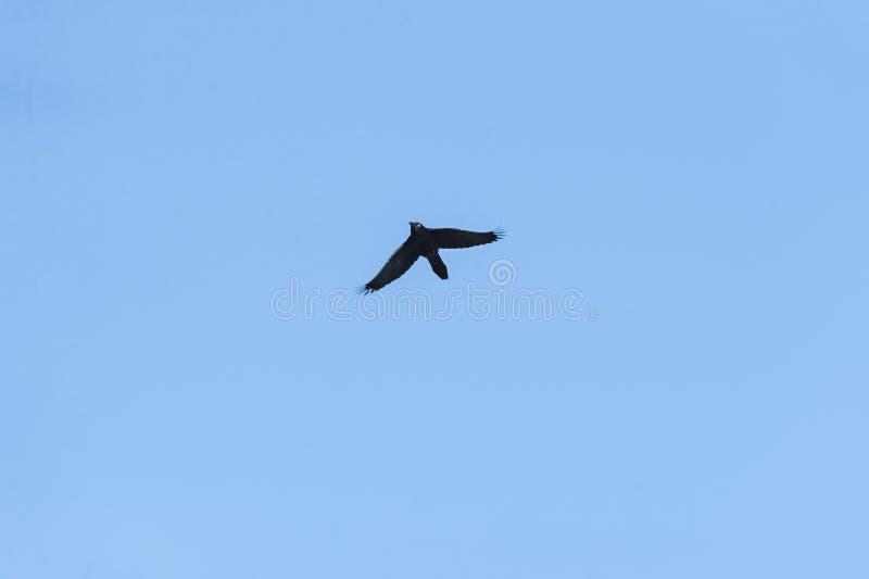 Grackle comune in volo con le ali basse fotografia stock