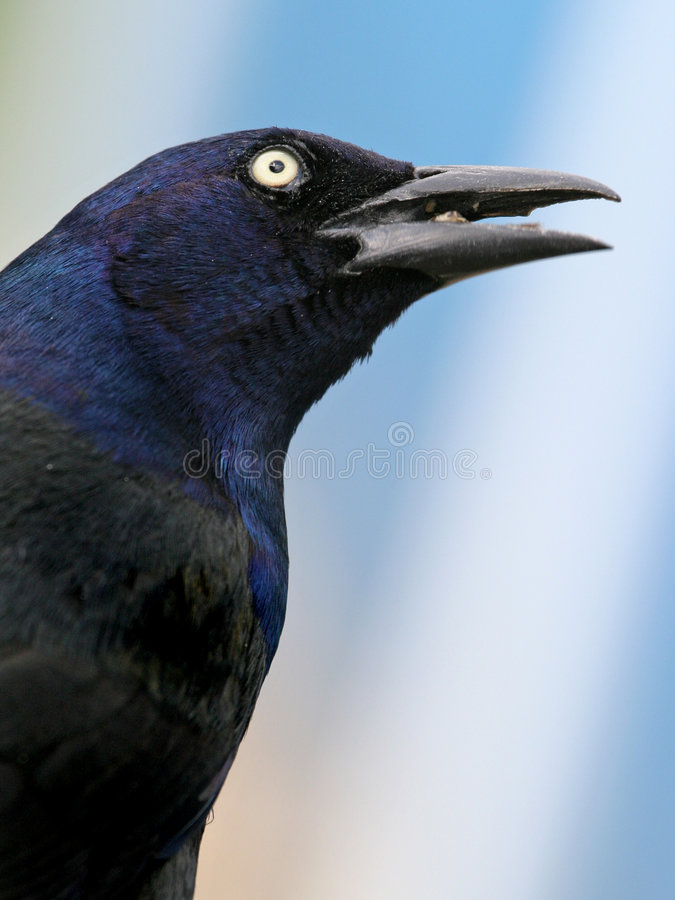 Download Grackle portrait stock photo. Image of close, head, beak - 461140