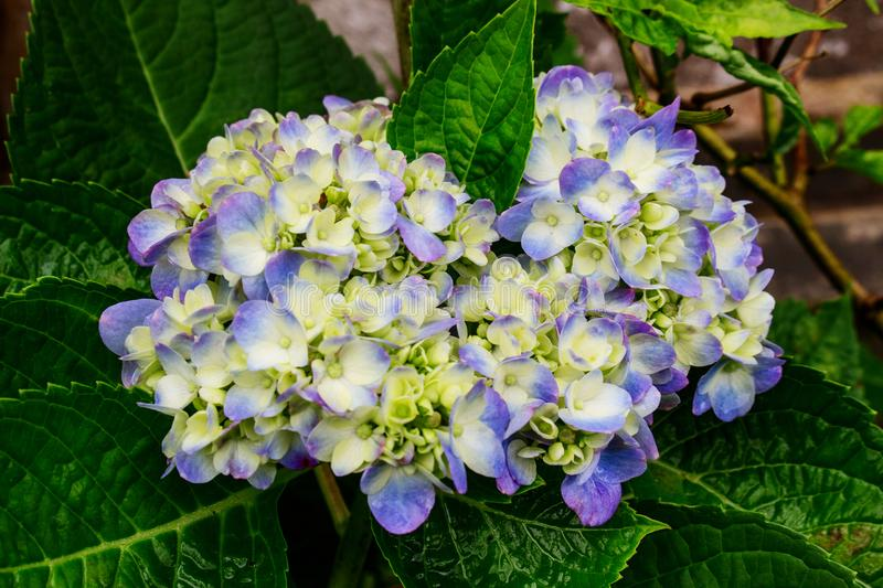 Gradation White and Purple hydrangea. In Yard Garden After The Rain. Not Full Bloom Hydrangea stock image