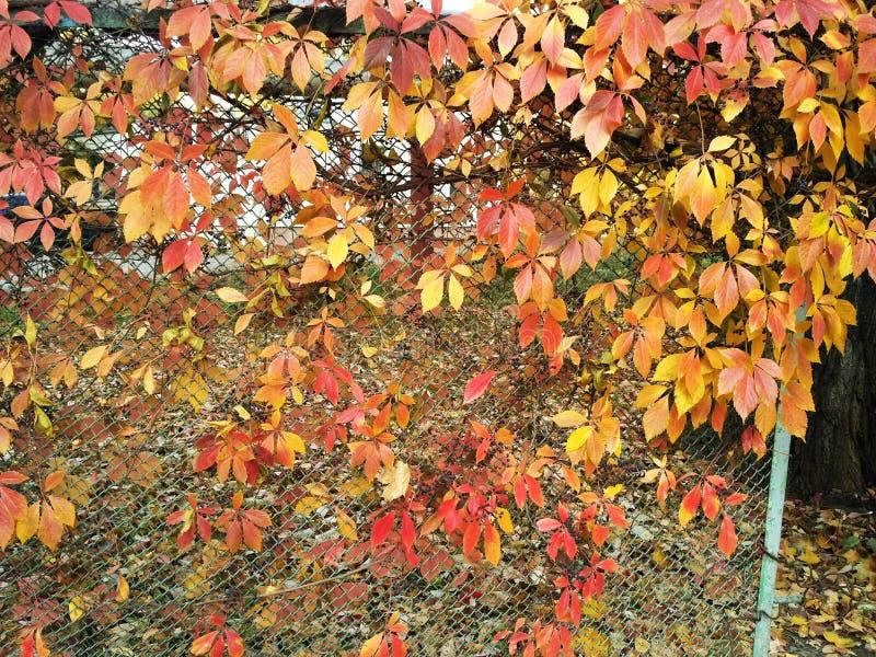 Grade da cerca do metal e folhas da videira virgem fotografia de stock
