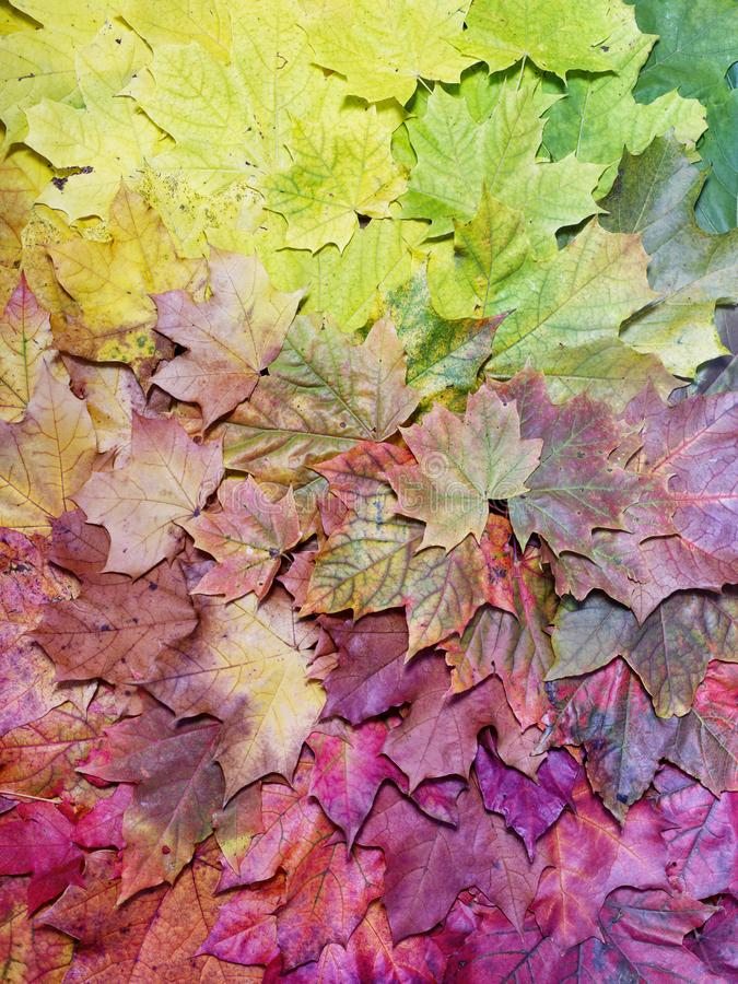 Gradient of fall maple leaves. Autumn background stock photo