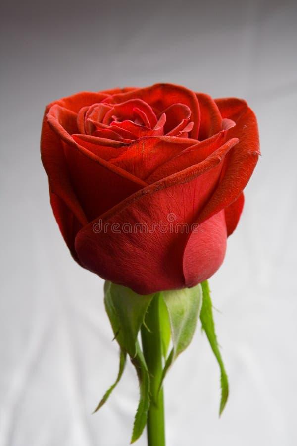 gradientowa czerwona róża obraz stock