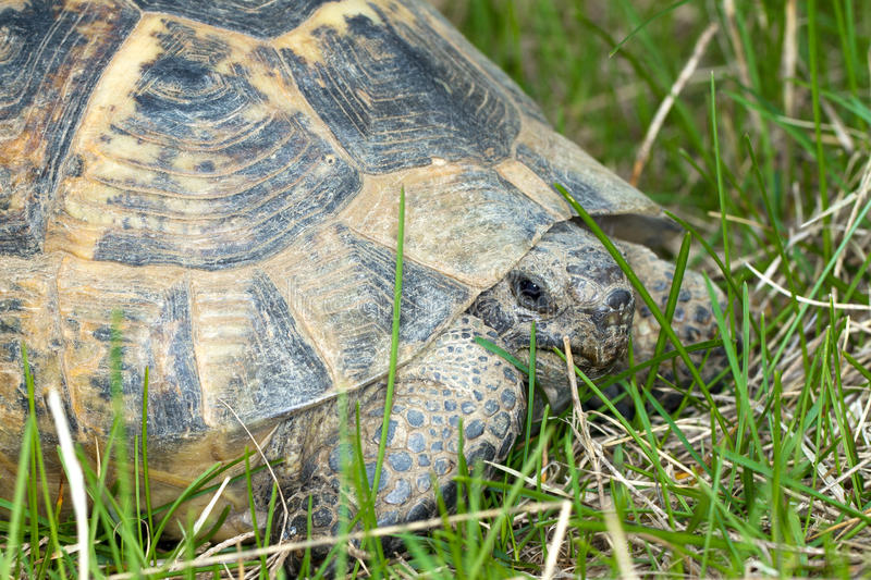 graecaiber sporrar testudoen thighed sköldpaddan arkivfoton