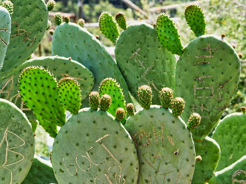 Graffiti Carved on Fruiting Prickly Pear Cactus Leaves, Greece. A dense cluster or colony of prickly pear cactus, or Opuntia, growing on the slopes of Mount stock image