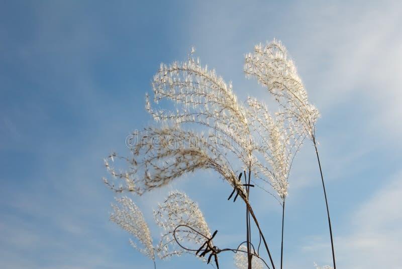 Graficzni puszyści susi spikelets przeciw błękitnemu chmurnemu niebu fotografia stock