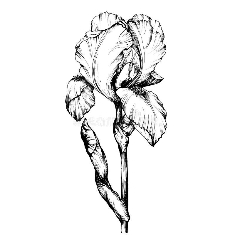 Grafika gałęziasty kwiatu irys Kolorystyki książki strony doodle dla dorosłego i dzieci Czarny i biały kontur ilustracja ilustracji
