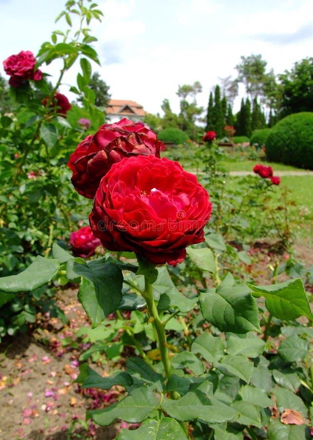 Grafin Von Hardenberg Rose stockbild