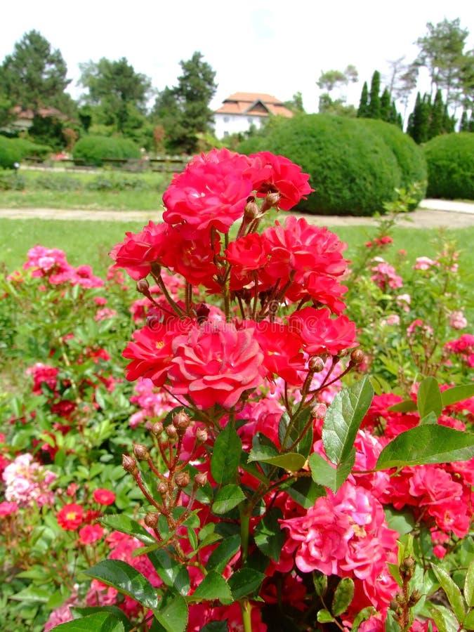 Grafin Von Hardenberg Rose stockbilder