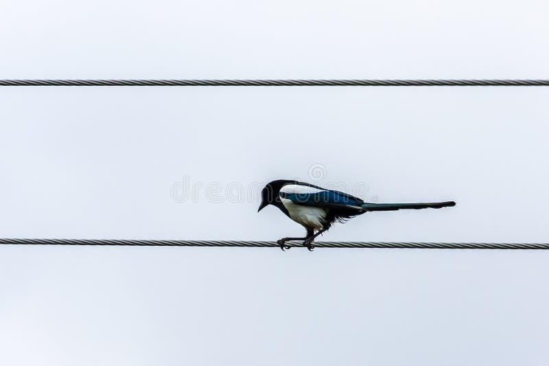 Grafische Ansicht von einem Schwarzweiss-Elstervogel, der auf einem Stahldraht sitzt lizenzfreie stockfotos