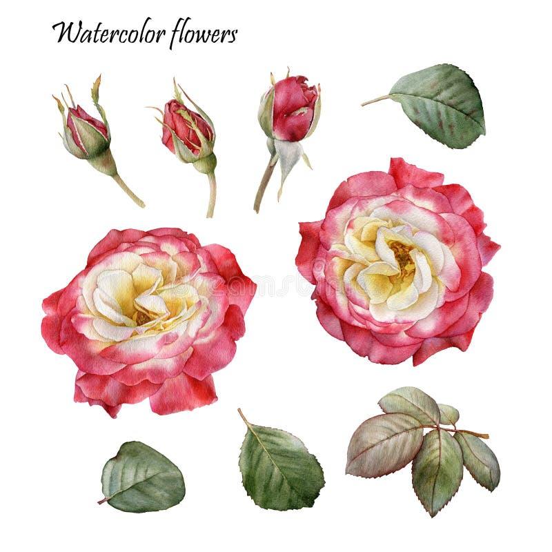 Grafische Auslegung-Elemente Blumen eingestellt von den roten Rosen des Aquarells vektor abbildung