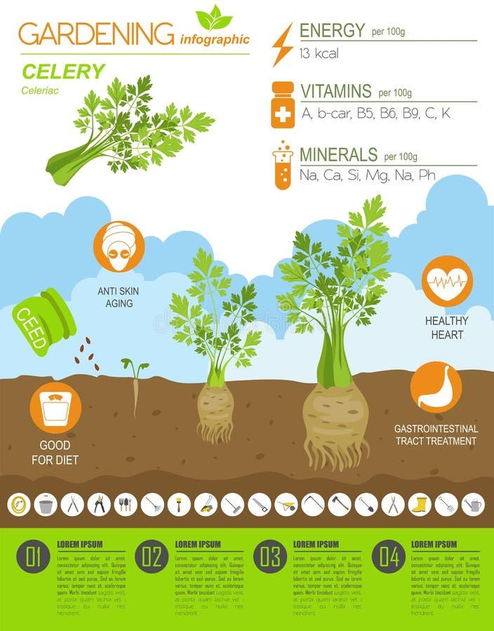 Grafische malplaatje van selderie het voordelige eigenschappen Het tuinieren, infographic de landbouw, hoe het groeit Vlak stijlo vector illustratie