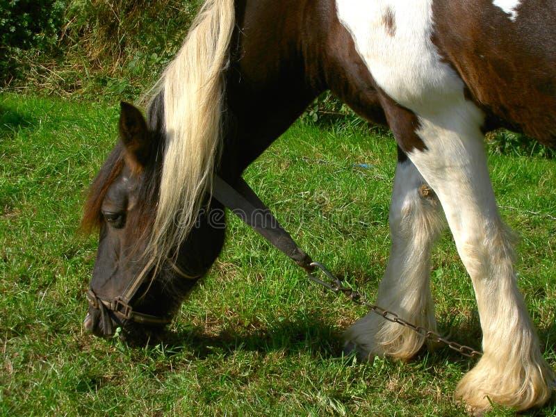 Grafschaft-Pferd lizenzfreie stockfotografie