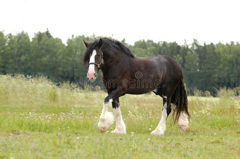 Grafschafts-Pferd, das auf einer Wiese weiden lässt stockfotografie