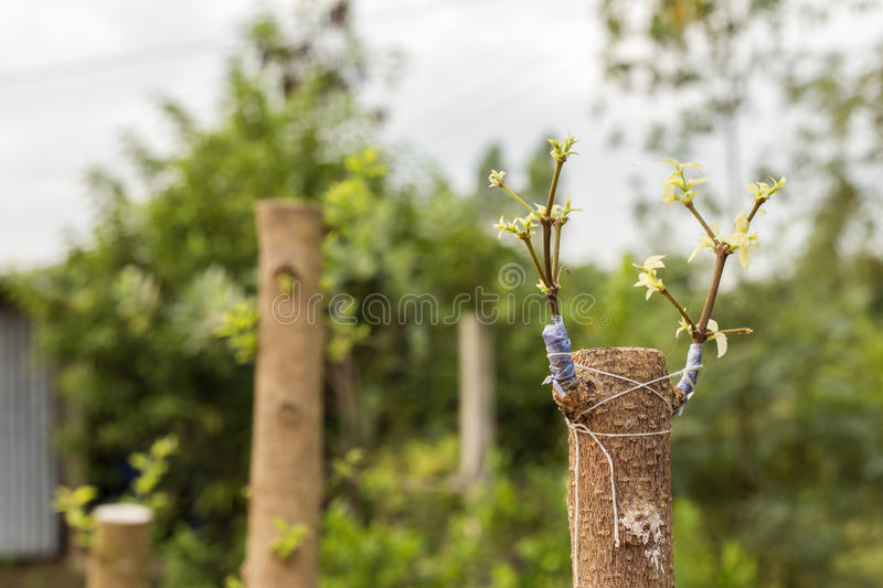The grafted to a tree, beautifully. stock photo