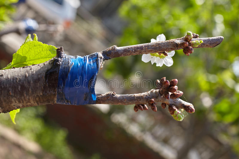 Grafted tree. Fruit tree twigs grafted on a tree trunk. Grafting cherry tree over a plum tree stock image