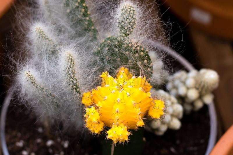 Grafted yellow cactus followed by opuntias with hair like spines. Grafted yellow .cactus followed by opuntias with hair like spines royalty free stock image