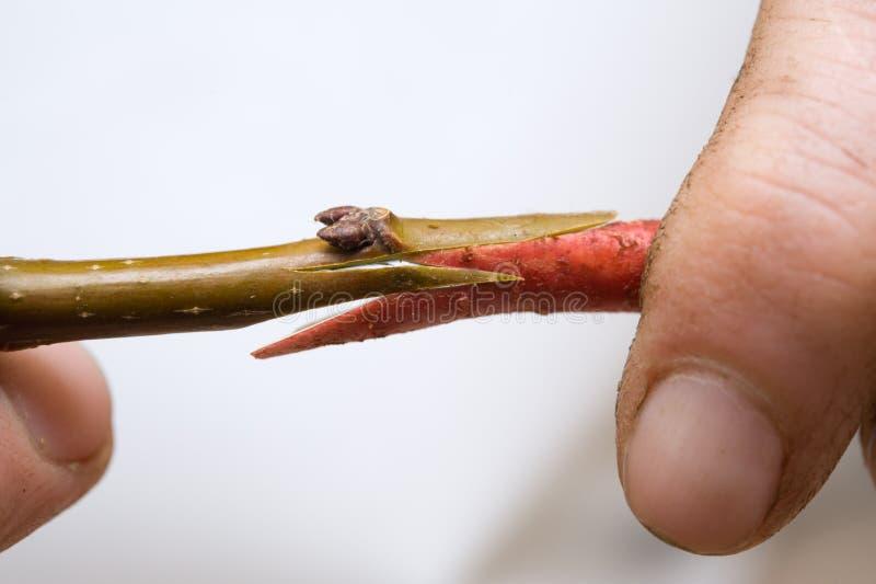 Download Grafting stock image. Image of branchlet, budding, twig - 9005757