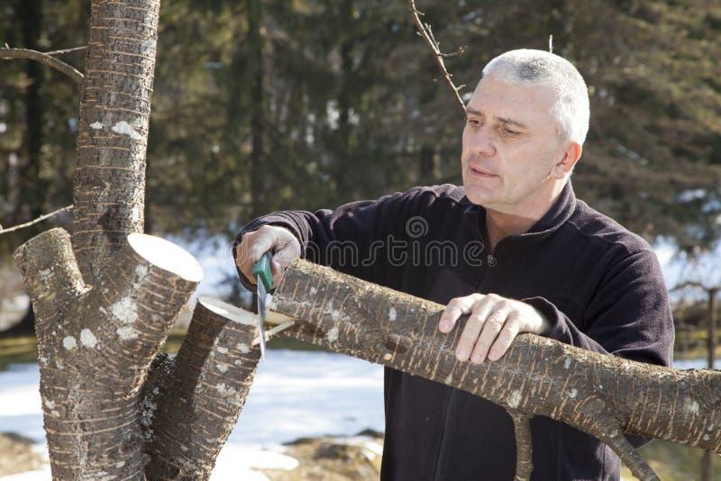 Mid aged man gardener sawing, cutting fruit tree royalty free stock photo