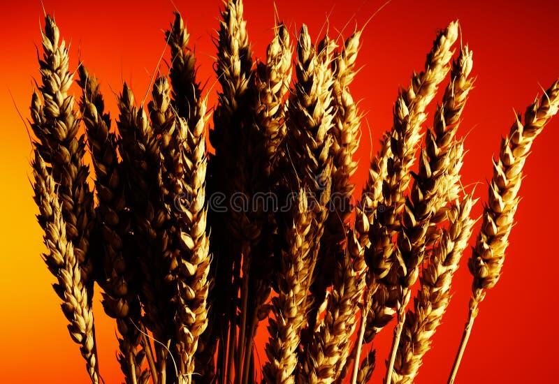 Grain royalty free stock photography