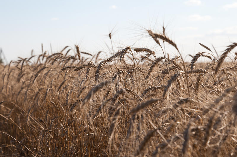 Grain close up, wheat field. Farming and agriculture. New harvest on wheat field. royalty free stock image