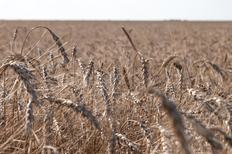 Grain close up, wheat field. Farming and agriculture. New harvest on wheat field. royalty free stock photos