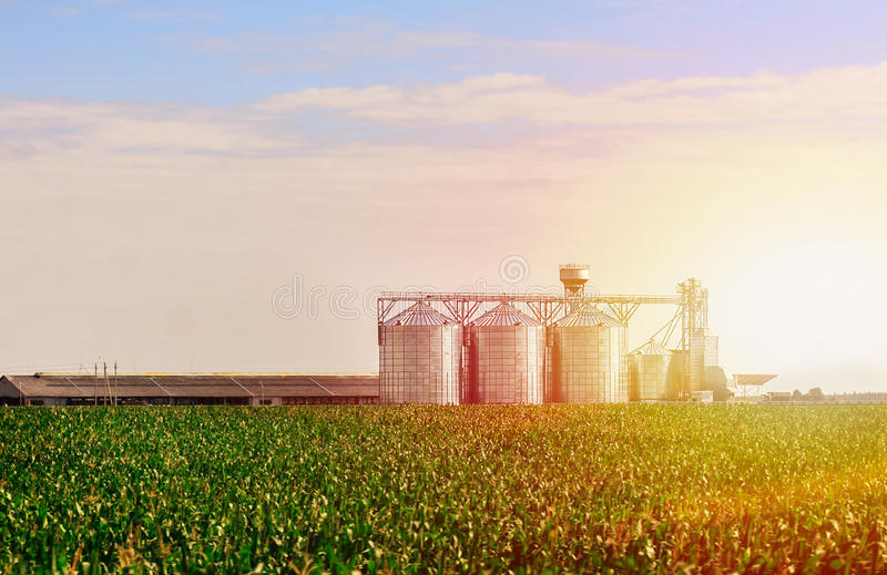 Grain in corn Field. Set of storage tanks cultivated agricultural crops processing plant. royalty free stock image