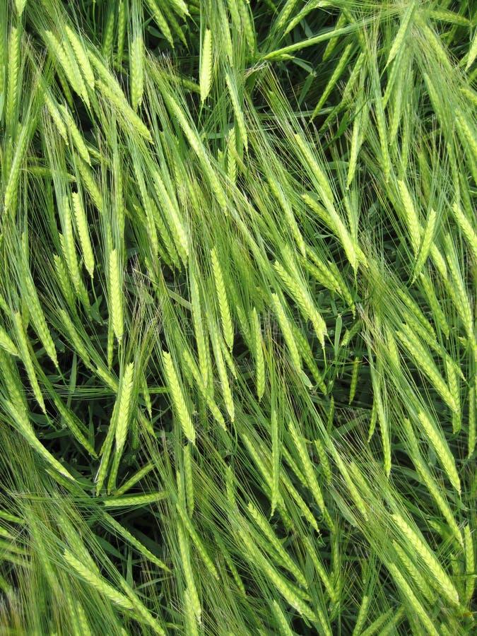 Download Grain Crop Stock Photography - Image: 6532622
