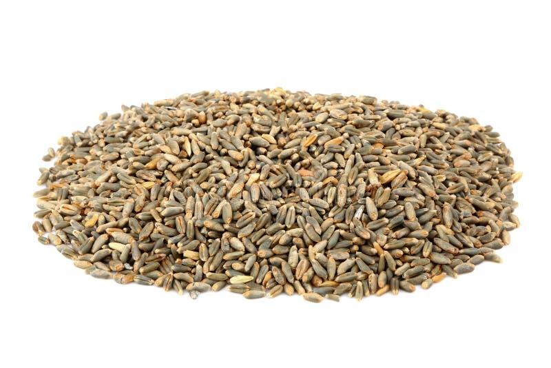 Grain D Avoine Vert Image stock