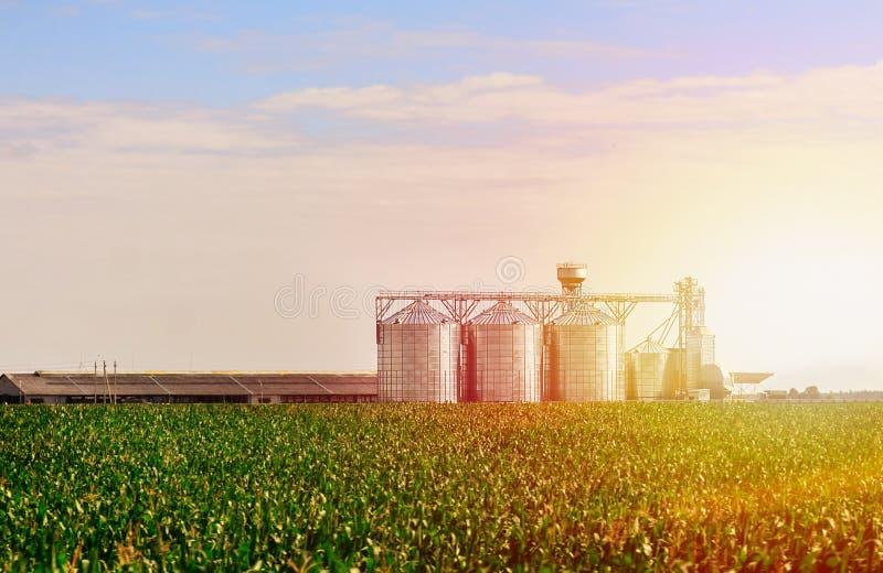 Grain dans le domaine de maïs L'ensemble de cuves de stockage a cultivé l'installation de transformation agricole de cultures image libre de droits