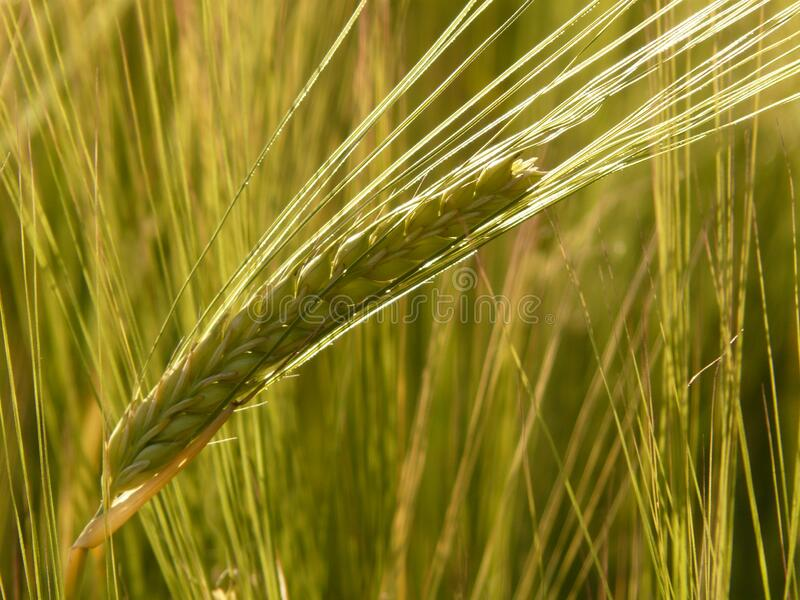 Grain De Céréale Vert Domaine Public Gratuitement Cc0 Image
