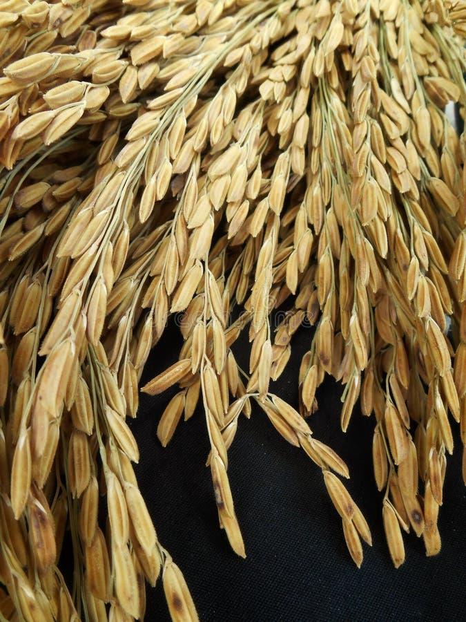 Grain de riz image stock