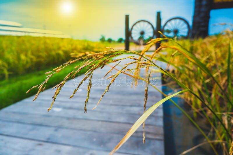 Grain de riz dans des domaines de riz de thr images libres de droits