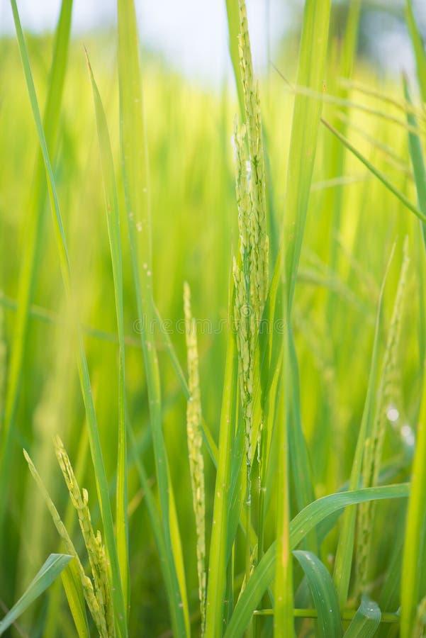 Grain de riz dans la ferme de paddy photographie stock libre de droits