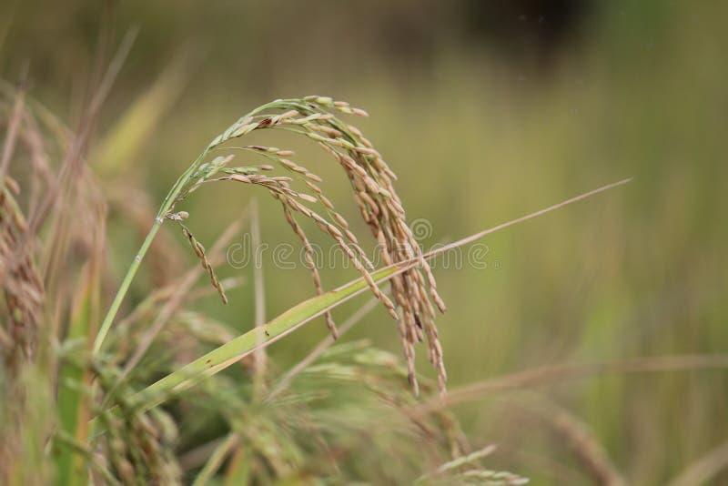 Grain de riz, prêt à couper images stock