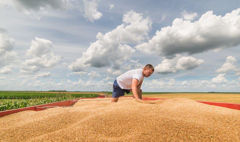 Grain de versement de blé dans la remorque de tracteur après récolte photos libres de droits