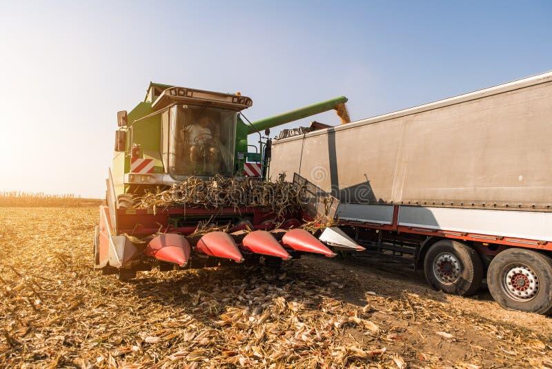 Grain de versement de maïs dans la remorque de tracteur après récolte photos libres de droits