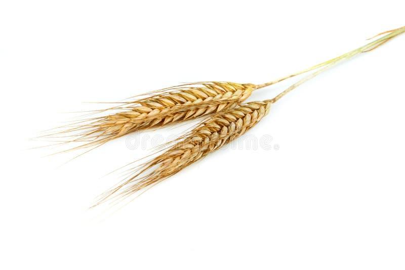 Grain ears stock photography