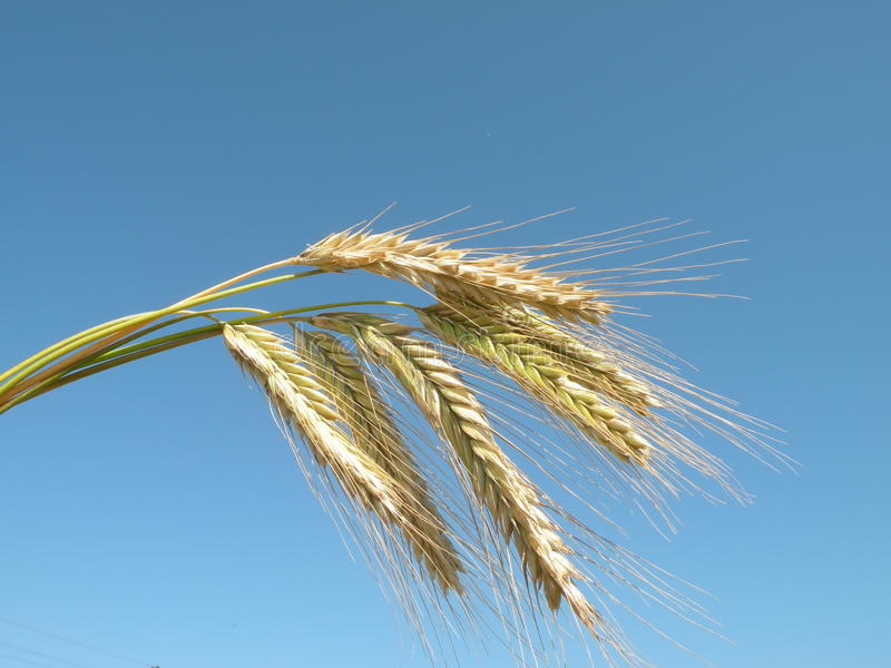 Download Grain Ears Stock Photography - Image: 16673962