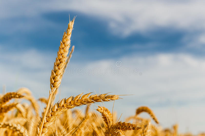 Grain in a farm field stock images