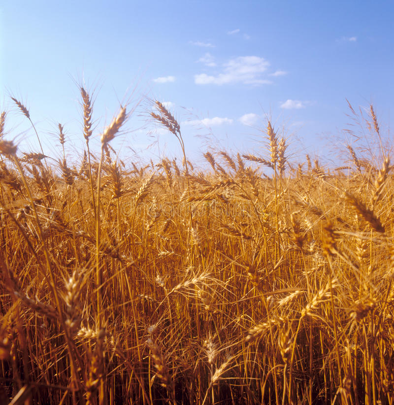 Download Grain Field. Royalty Free Stock Image - Image: 15389146