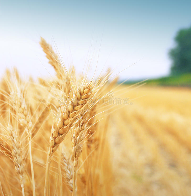 Free Grain Field Royalty Free Stock Image - 18591036